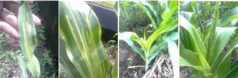 Gejala serangan penyakit bulai jagung