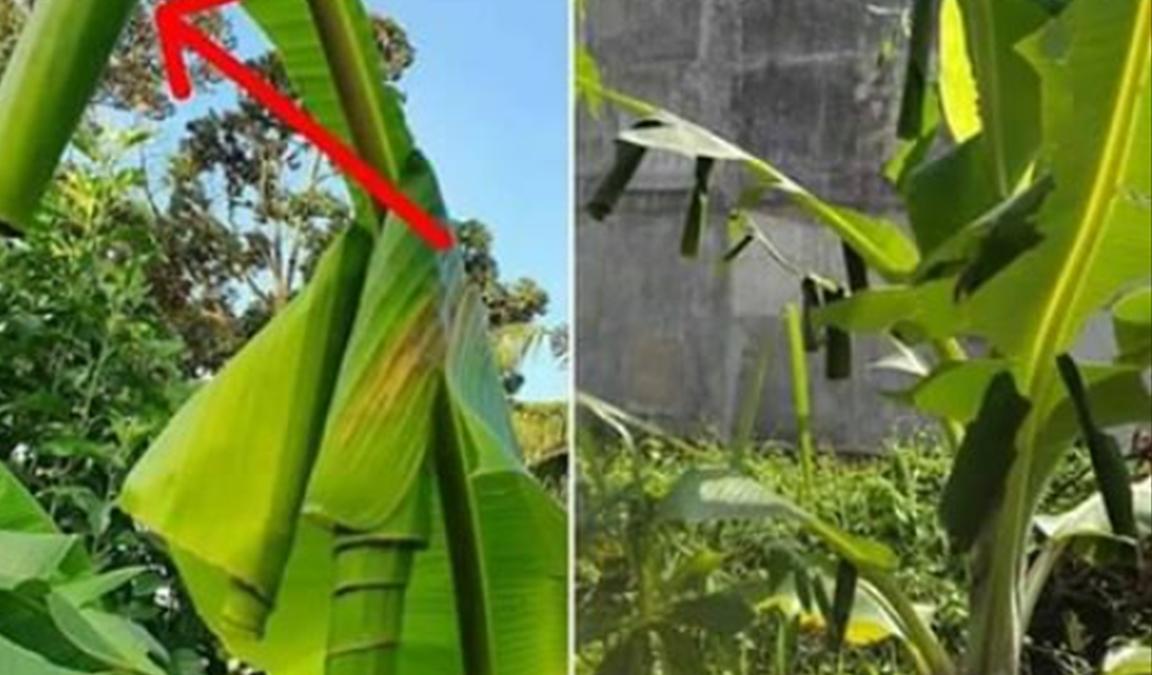 hama tanaman pisang