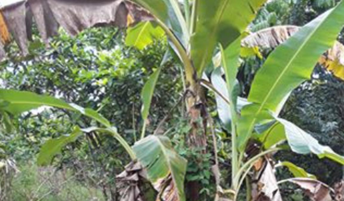 penyakit pisang