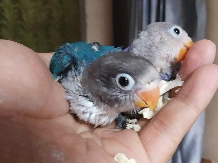budidaya lovebird