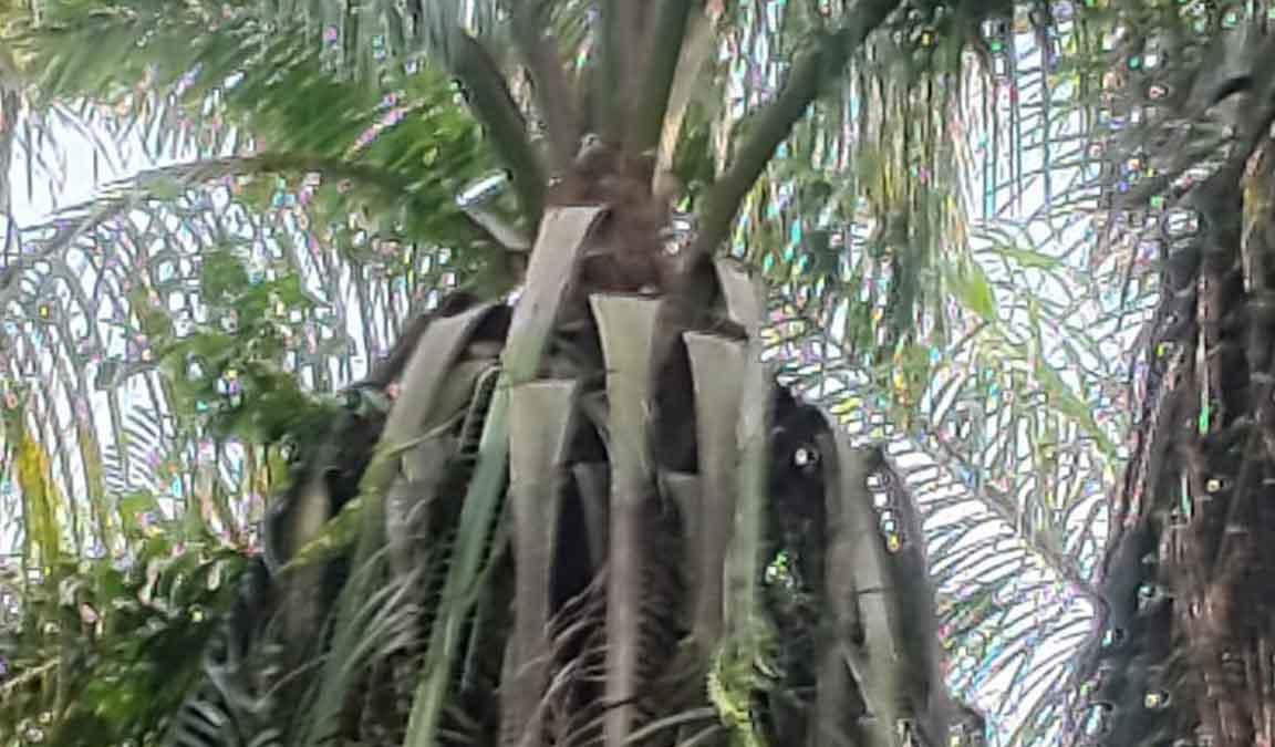 hama kelapa sawit