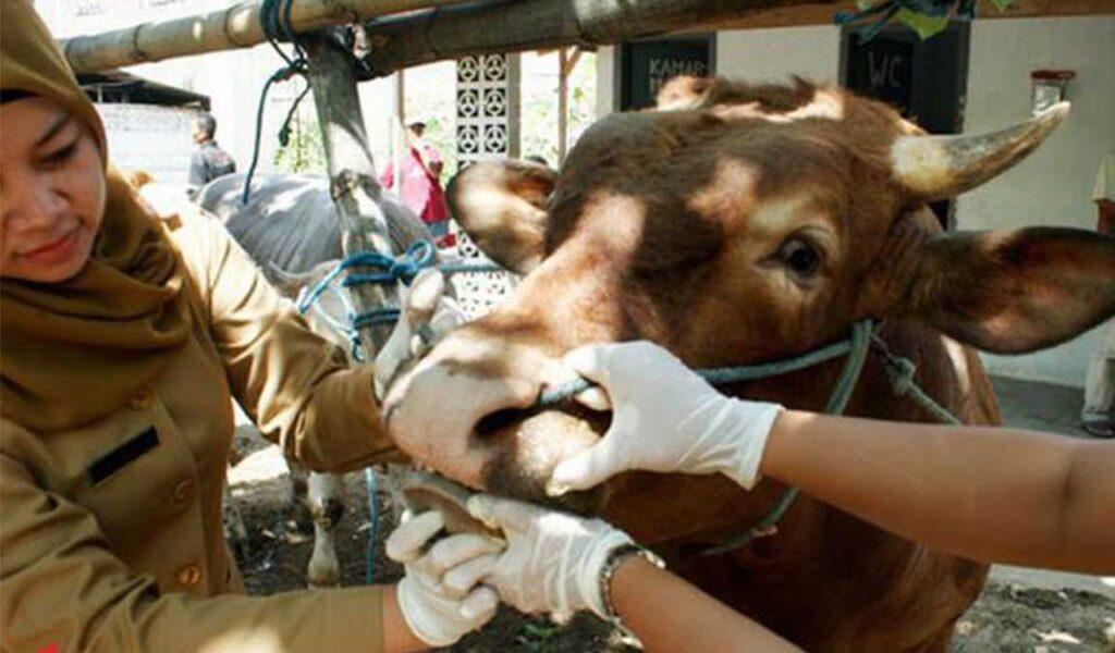 pengobatan sapi gila