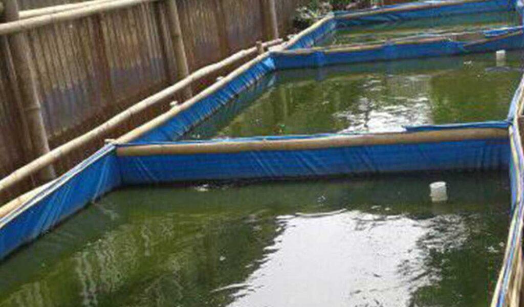 mengontrol kondisi air kolam lele