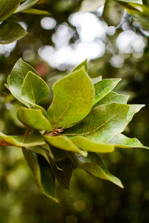 Liście wawrzynu (laurowe)