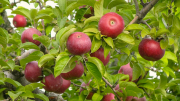 Apple Picking iPhone Reception Issues- A Gear Chat