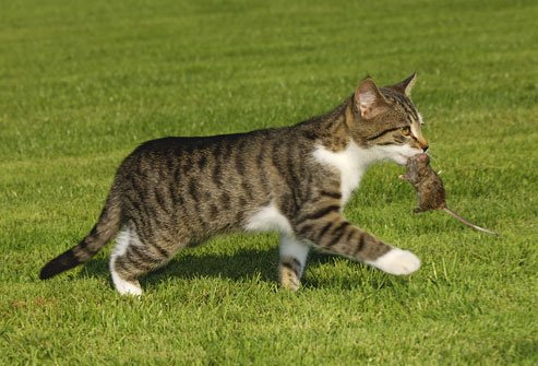 photolibrary_rf_photo_of_cat_with_mouse