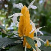 A dramatic yellow bloom with white petals.