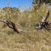 tall grass next to a dried out cedar branch.