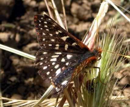 Sunol Butterfly