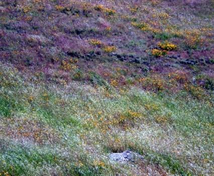 Sunol Wildflowers