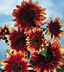 indian blanket 4 5 feet tall 4 inch flowers bi color many flowers