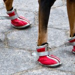 Doggie Needs a New Pair of Shoes: Types of Dog Shoes