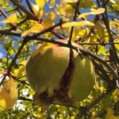Grantäpfel im Garten