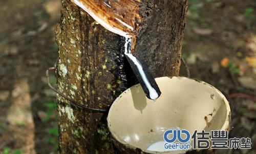 橡樹萃取乳膠汁液