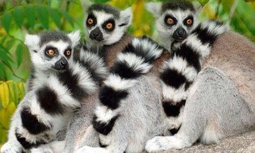 馬達加斯加狐猴
