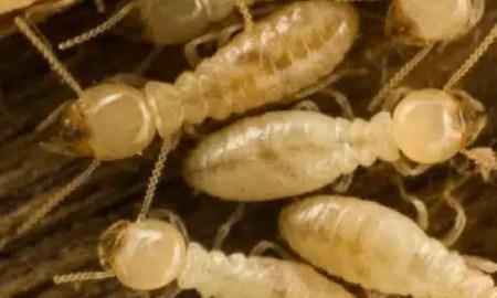 kako-zive-termiti