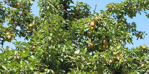 apple tree with deuteranomaly