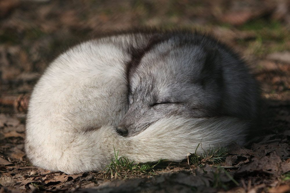 Iceland arctic fox by Wikimedia user Rama CC BY-SA 2.0 fr