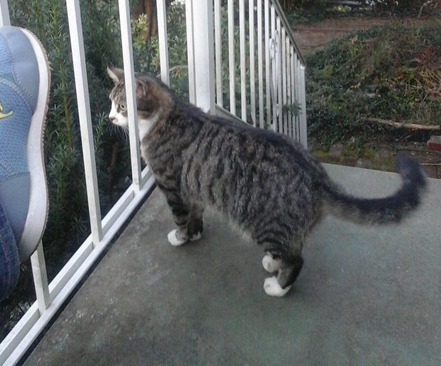 Grey tabby on the porch, the author's shoe just in frame.