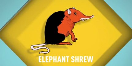 Songs for Unusual Creatures Episode 2: Elephant Shrew