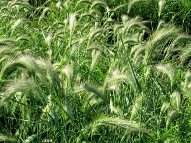Canada Wild Rye
