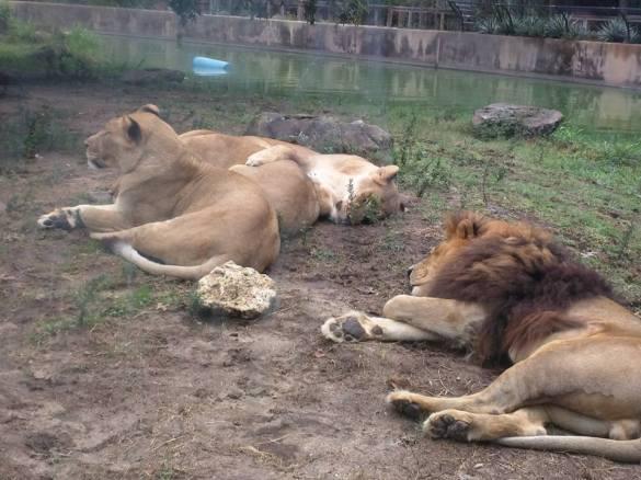 Happy little lion family.