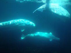 Mystic's three beluga whales, photo by Corrina Lawson