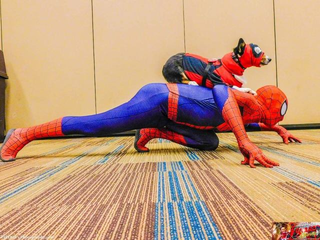 Deadpool gets a lift from Spider-Man. \ Image: Kiba the Cosplay Corgi