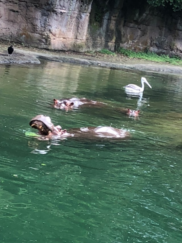 Hippos Animal Kingdom Disney World