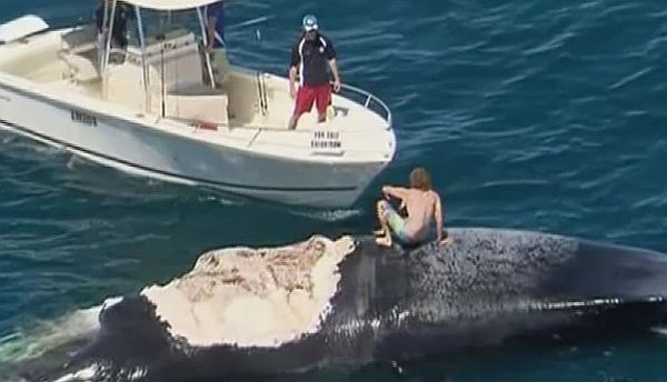 Video: Australian Man Riding a Dead Whale Surrounded By Sharks
