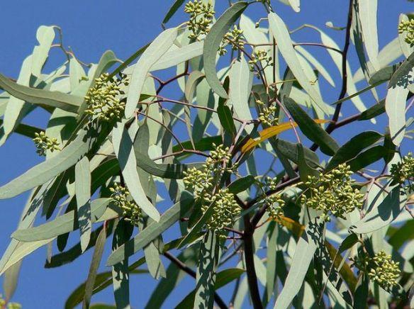 eucalipto-hojas-wikimedia-commons