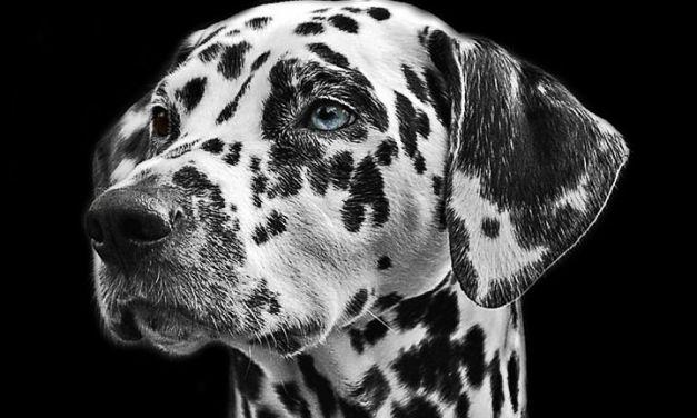 Nueva aplicación de Microsoft (Web e iOS) a través de una foto identifica la raza de un perro