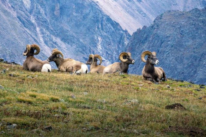 Bighorn rams on the tundraBighorn rams on the tundra