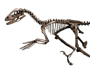 Deinonychus_skeleton