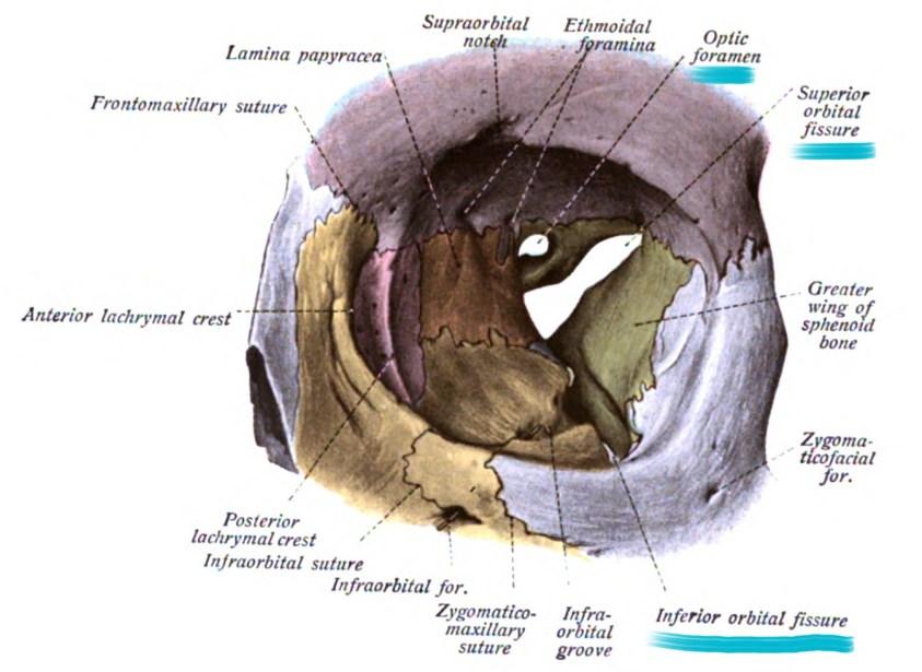 Eye Anatomy | Blood supply - Orbit - Extraocular muscles ...