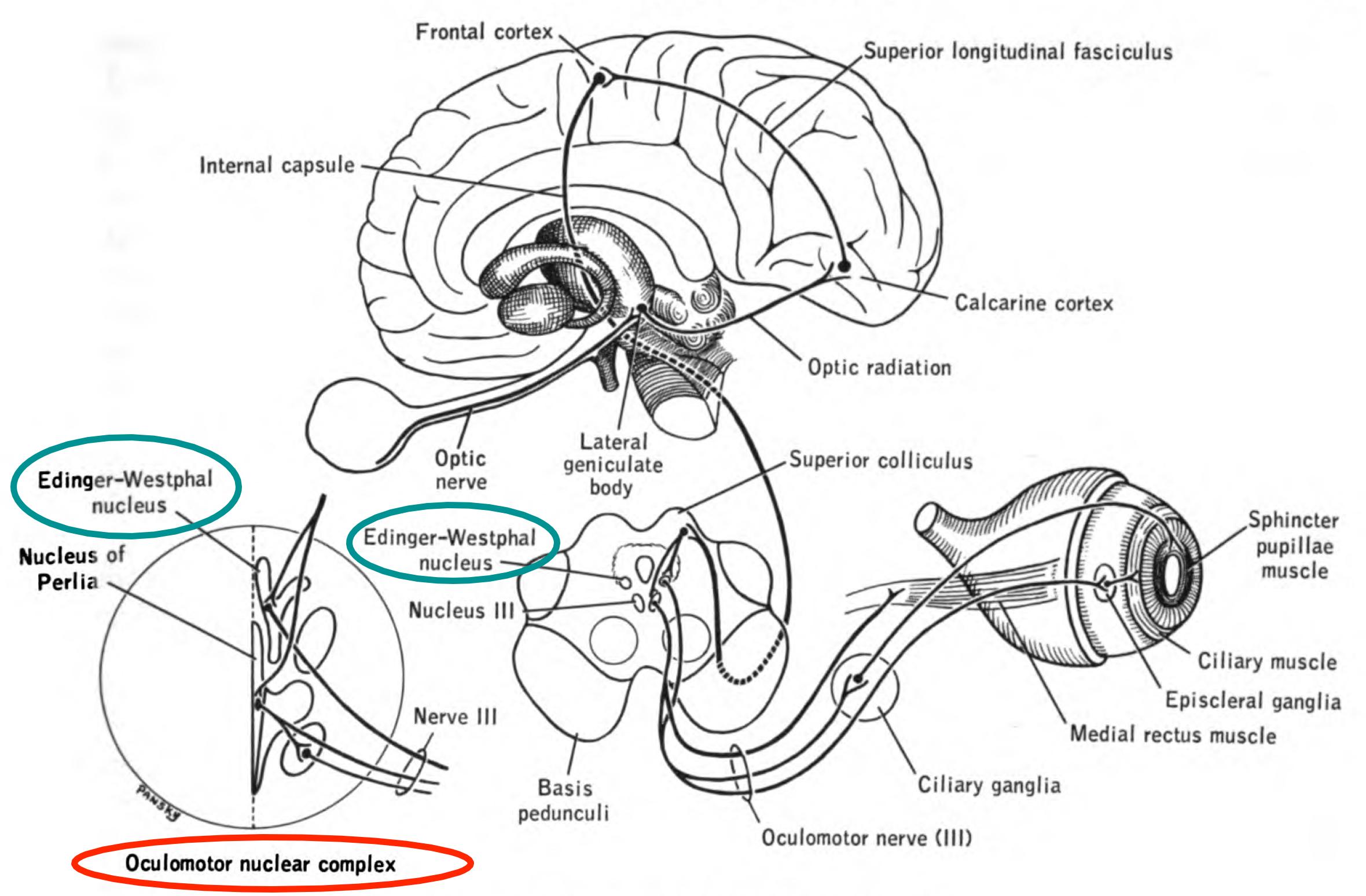 The Oculomotor Nerve Cn Iii