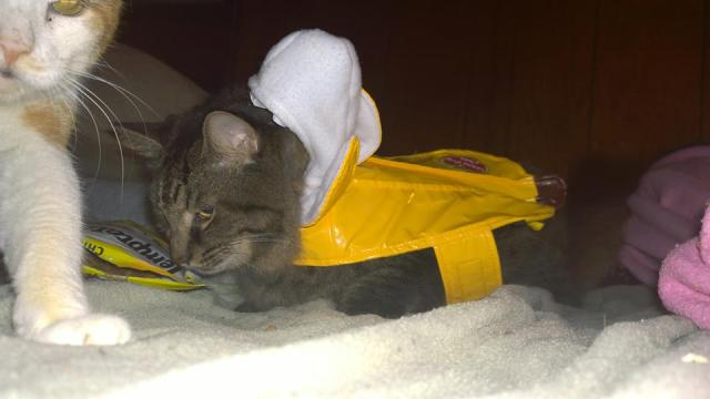I put my Cat in a Banana Costume (10 Pics of my Cat in Banana Costume)