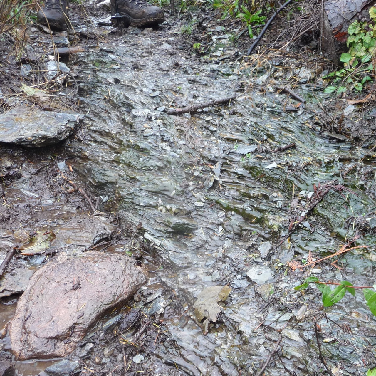Darrington Phyllite outcrop on the trail