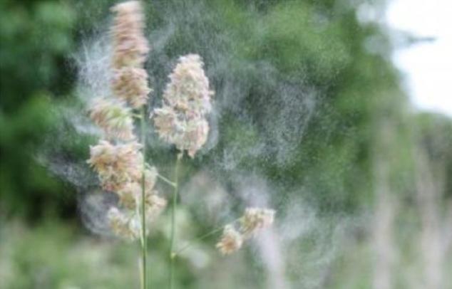Knaulgras-Pollen