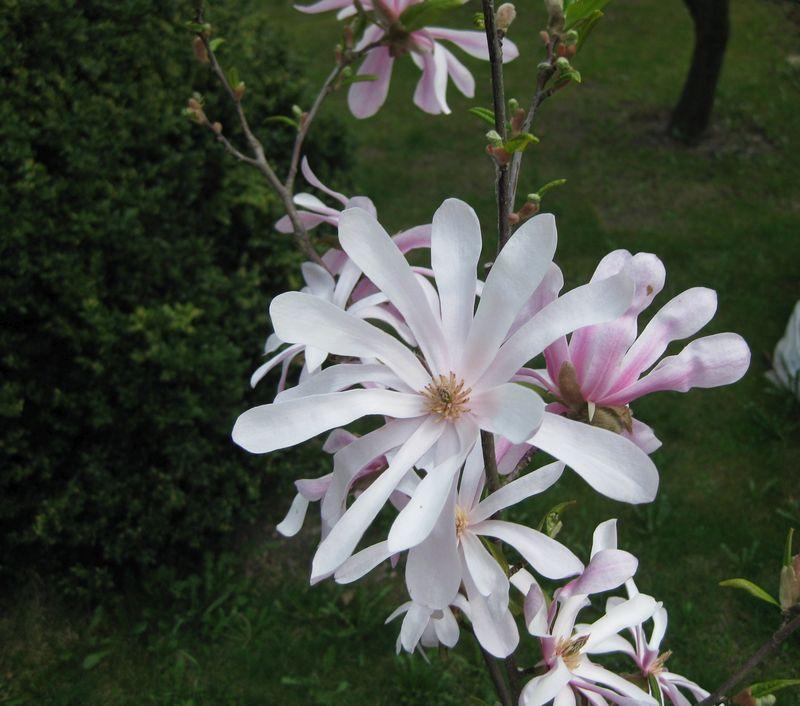 Magnolia x Loebneri in Böhlitz-Ehrenberg (Foto: Andreas Schaaf)