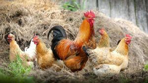 Das Huhn Transmutation in der belebten Natur