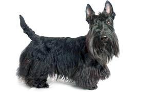 lo-standard-dello-scottish-terrier-300x180