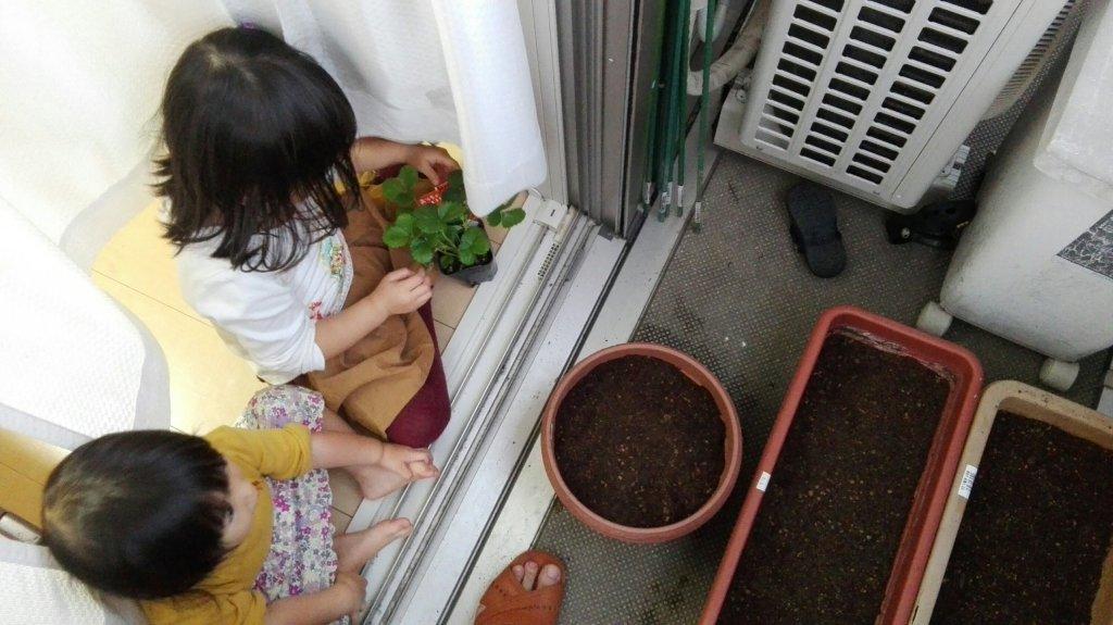イチゴの苗を植え付ける