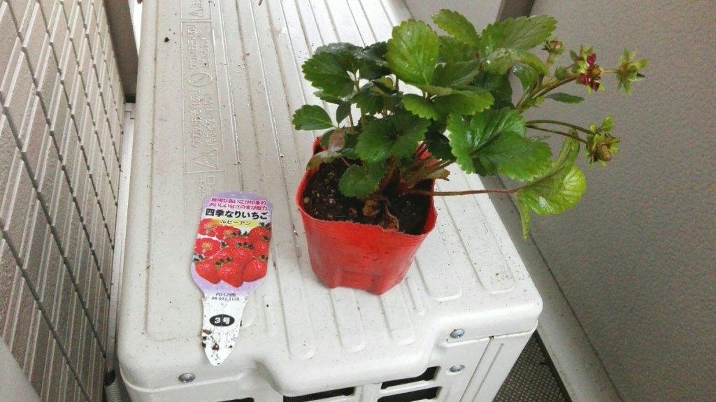 イチゴの苗