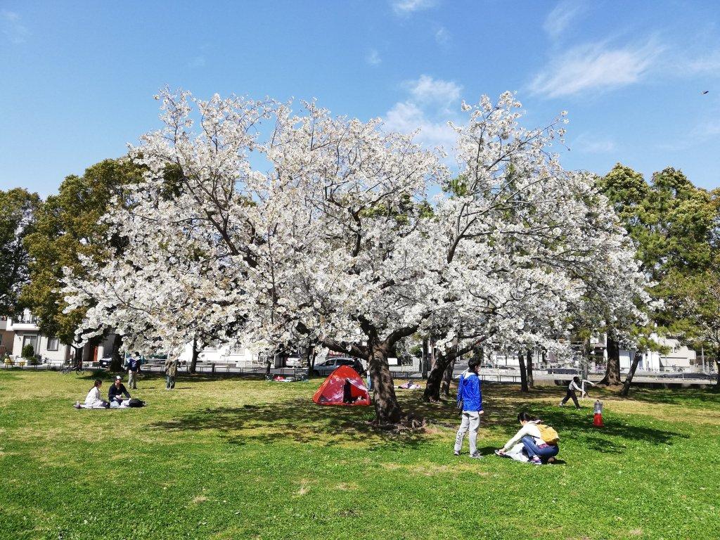 江戸川区篠崎公園の大島桜が満開