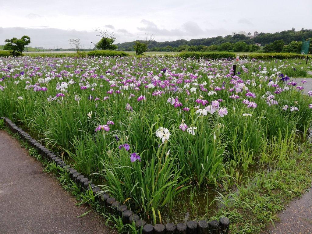江戸川区の小岩菖蒲園の菖蒲畑