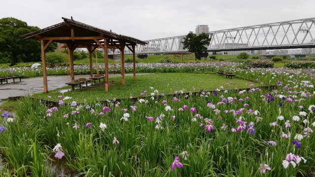 江戸川区の小岩菖蒲園