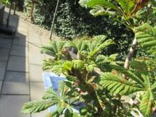Onze bonsai kastanje 8-2014 (3) (Small)