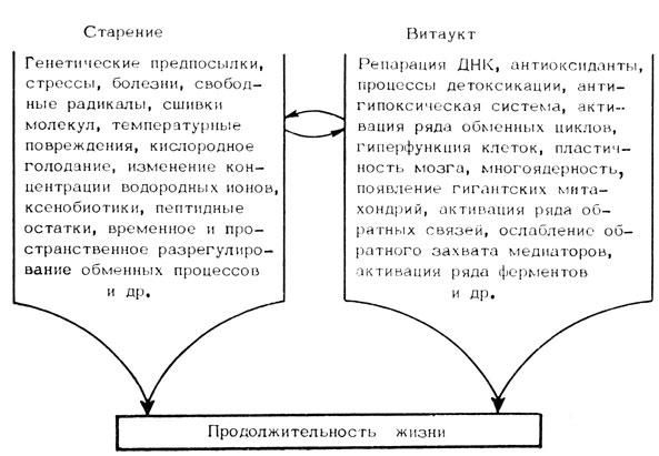 Рис. 2. Схема процессов старения и витаукта, определяющих продолжительность жизни