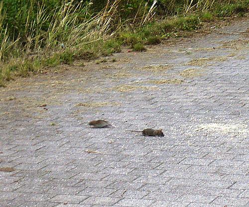 Affald tiltrækker rotter